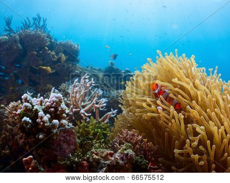 Vivid coral reef and clown fish