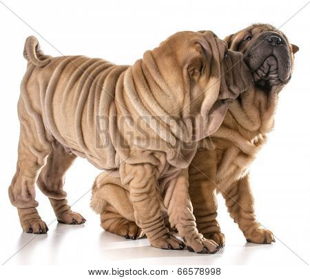 two puppies playing - chinese shar pei littermates isolated on white - 4 months old