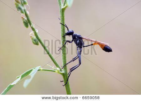Parasitic Sand Wasp