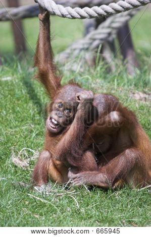 Boisterous Orangutans