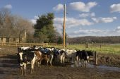 pic of feedlot  - View of cows on a sunny day in a muddy feedlot - JPG