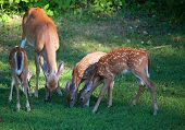 pic of black tail deer  - Three whitetail deer fawns and a doe eating some grass - JPG