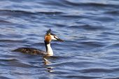 stock photo of great crested grebe  - Great crested grebe (Podiceps cristatus) on the water