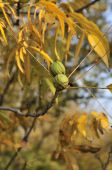picture of pecan tree  - Nuts the pecan is a large deciduous tree
