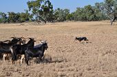stock photo of mustering  - Working kelpie dog keeping a mob of goats together - JPG