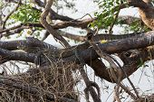 picture of goanna  - Entire view of camouflaged Monitor Lizard hidden over tree - JPG
