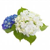 image of hydrangea  - beautiful hydrangea flower isolated on white background - JPG