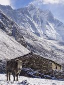 stock photo of sherpa  - Yak in front of village house in Dengboche, Everest Region, Nepal.