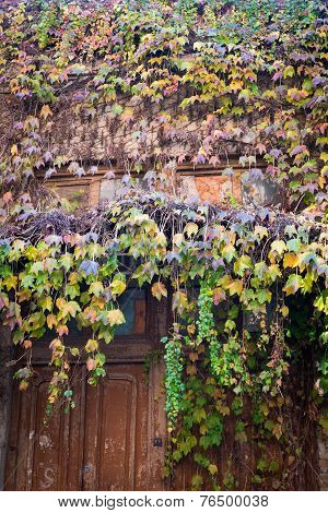 Old Wooden Door Covered With Multicolor Ivy Falling Down In Tbilisi