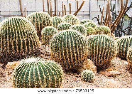 Cactus Plant. Cactaceae