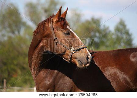 Brown Horse Portrait In Summer