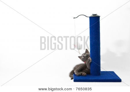 Grey Kitten Playing With A Scratching Post