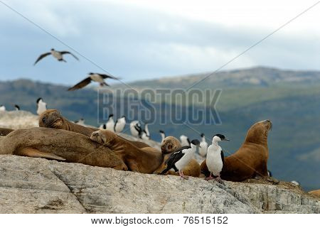South american fur seals and King Cormorants