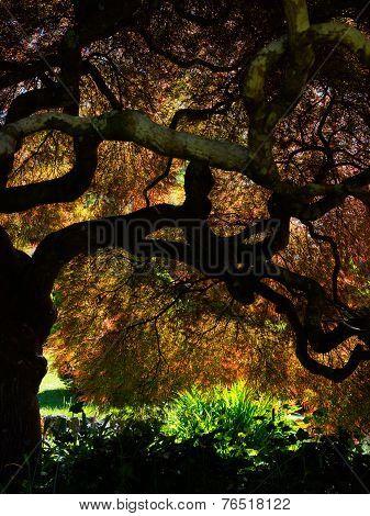 Glorious Japanese Maple Tree
