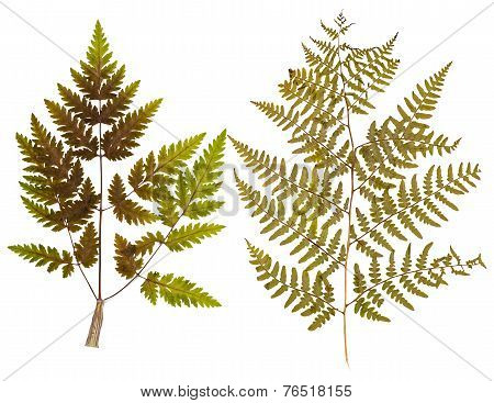 Set Of Leaf Fern Pressed