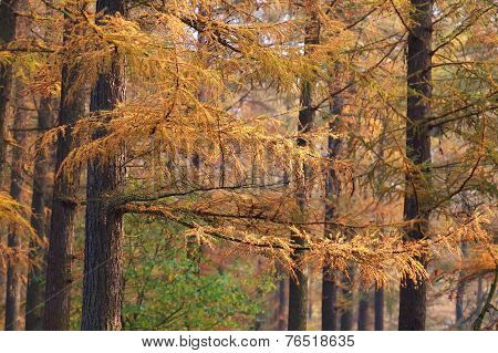 Larch Tree Forest In Autumn