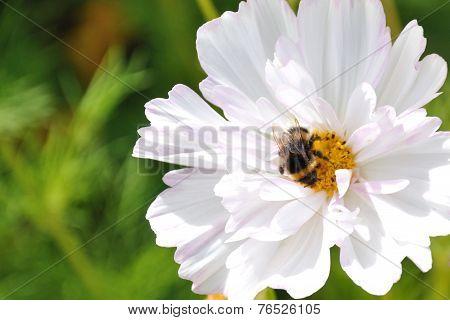 Bumblebee On White Flower