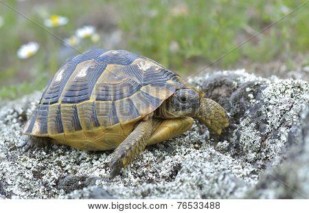 Spur thighed turtle (Testudo graeca)