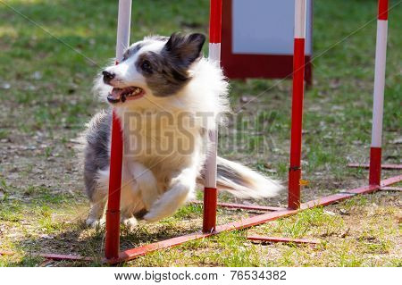 Agility Dog With A Bluemerle Border Collie