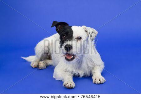 Black And White Dog On Blue Background