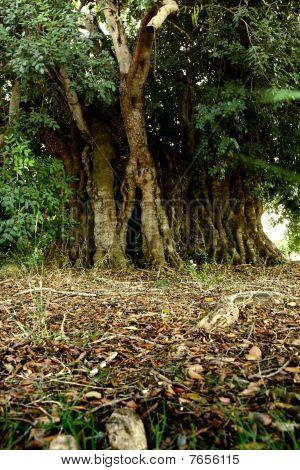 Old Carob Tree