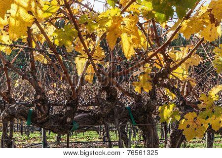Grapes Plants - Vines