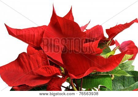 closeup of a red poinsettia on a white background