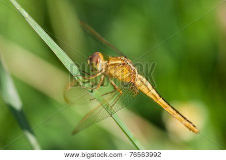 A skimmer dragonfly