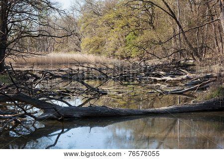Natural Forest With Swamp