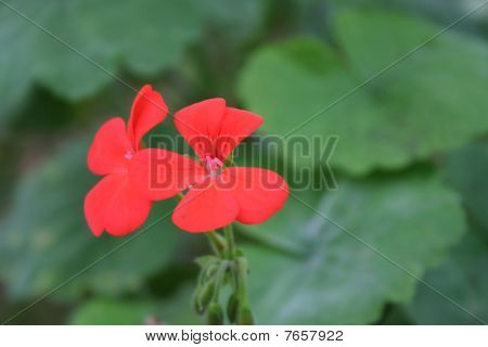 Two Isolated Vibrant Red Flowers On Green Background