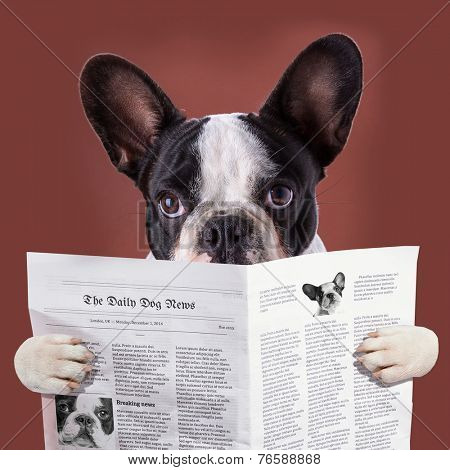French bulldog reading newspaper