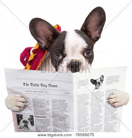 French bulldog in sombrero reading newspaper over white