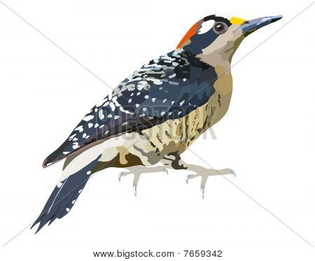 Black-cheeked_woodpecker