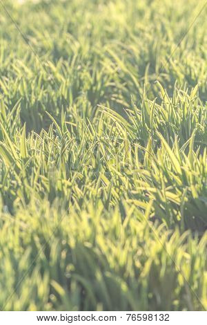 Background of natural new green grass