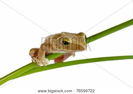 Tree frog on papyrus tree