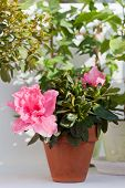 pic of azalea  - Blossoming pink azalea among other plants in a house greenhouse - JPG
