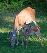 pic of eat grass  - Whitetail deer fawn with a doe eating some grass - JPG