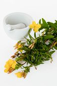 foto of primrose  - Evening primroses with mortar and pestle over white background - JPG