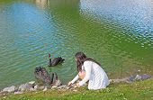 stock photo of black swan  - Young lady feeds the black swans on the pond - JPG
