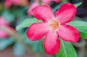 image of desert-rose  - close up of flower Impala Lily Adenium  - JPG