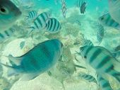picture of damselfish  - Sergeant major damsel  - JPG
