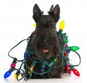 image of christmas dog  - christmas dog  - JPG
