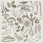 picture of spice  - Vector set of hand drawn spices and herbs in vintage style - JPG
