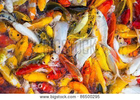 Koi Carps Fish