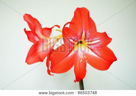 Beautiful Bloom Of Red Amaryllis Flower