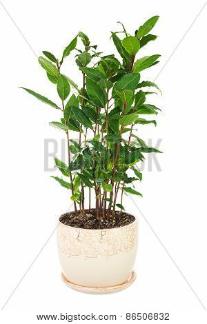 Small Laurel Tree In Flower Pot Isolated On White Background.