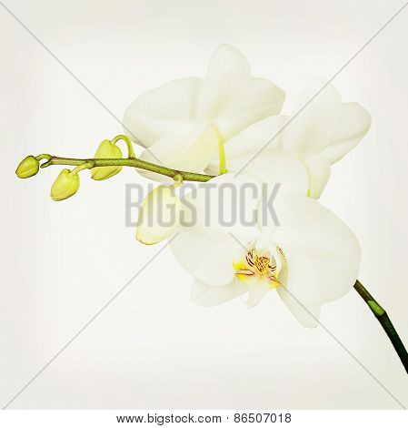 Three Day Old White Orchid With Retro Filter Effect.