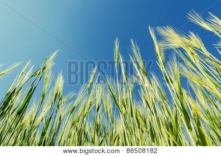 green cereal plant under deep blue sky