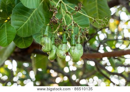 Young Cashew Nuts Growing On A Tree This Extraordinary Nut Grows Outside The Fruit