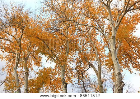 Trees With Bright Yellow Leaves